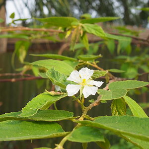 P4070029 muntingia calabura strawberry tree blossom.JPG