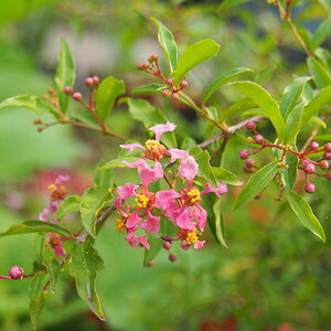 P4070034 barbados cherry blossoms.JPG