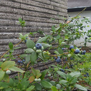 P4070040 blueberries.JPG